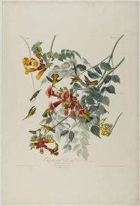 John James Audubon - Throated vermiglio Humming Bird